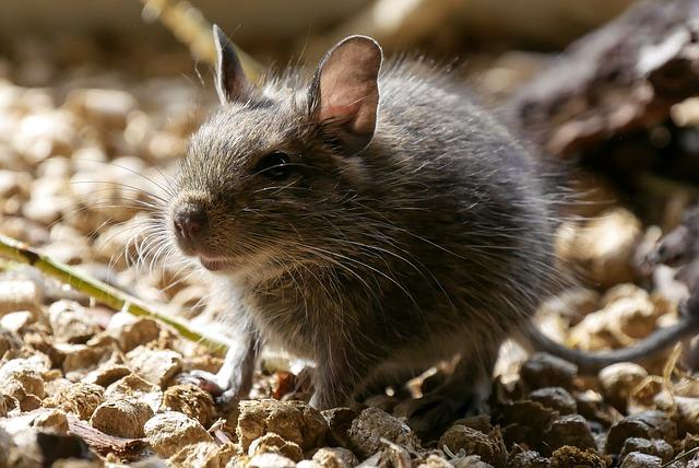 Ratten preventie