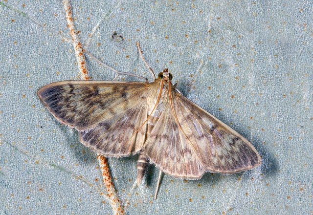 Motmuggen
